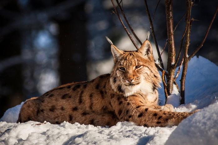 雪の上にいるヤマネコ
