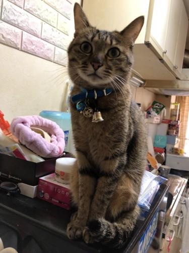 台の上の猫