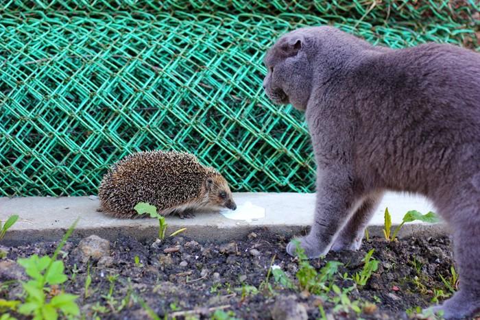 ハリネズミと遊ぶ猫