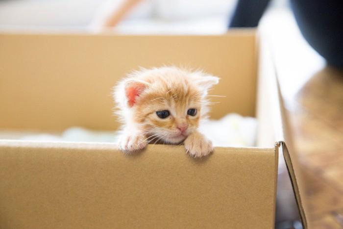 段ボールから顔を出す子猫