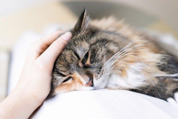 撫でられる長毛種の三毛猫