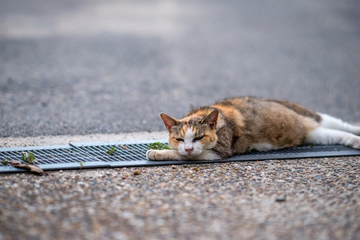 道で横になって休む猫