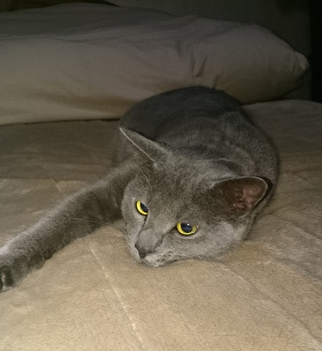 寝転がる灰色の猫