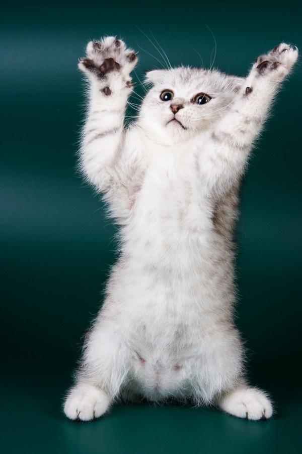 二歩足で立ち上がる猫