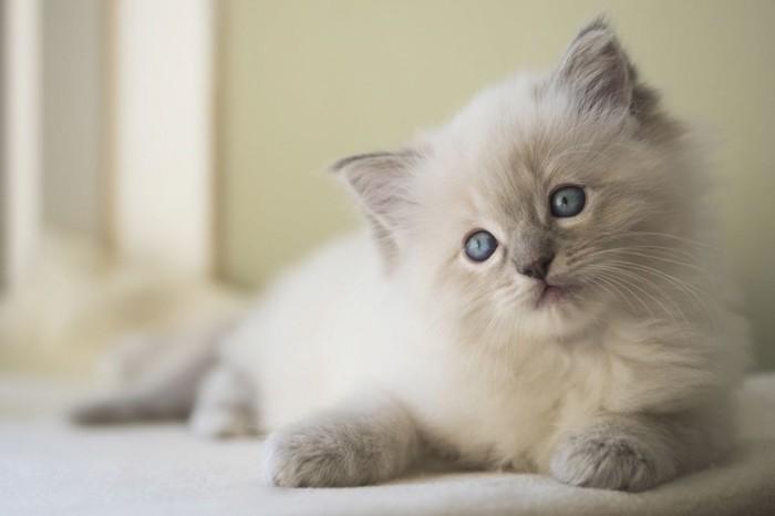 首をかしげるラグドールの子猫