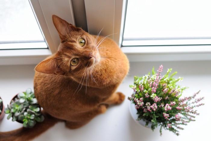 窓辺で座って見上げているアビシニアン