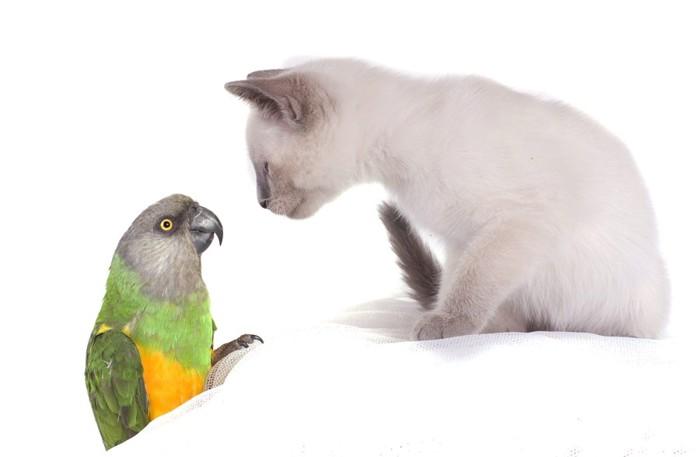 インコと見つめあう子猫