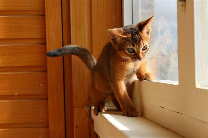 窓辺のアビシニアン子猫
