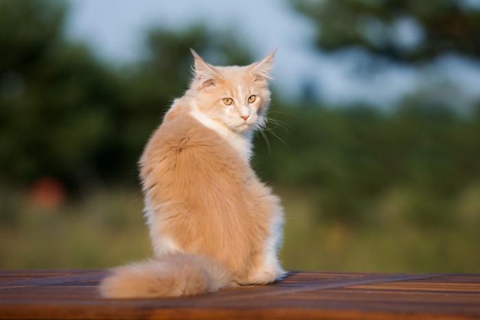 ふりかえる猫