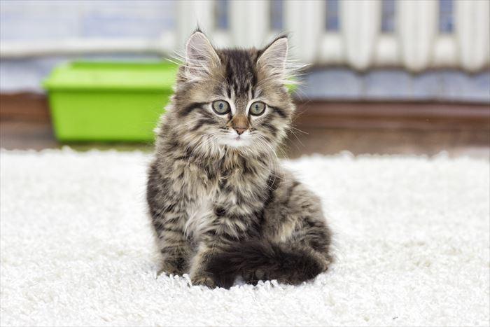 カーペットの上の猫
