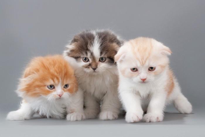 3匹のスコティッシュの子猫