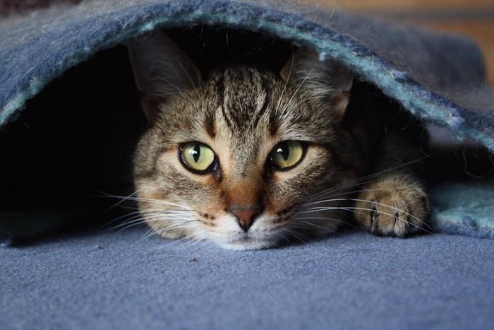 カーペットの下に隠れている猫