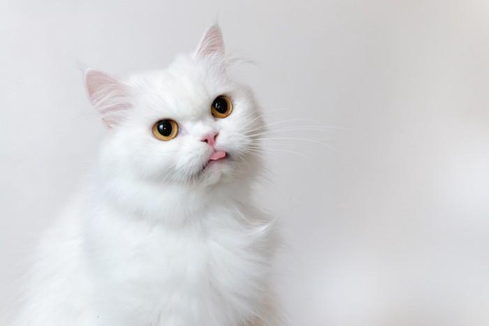 舌を出すペルシャ猫