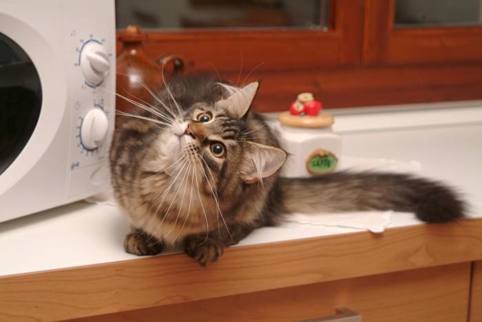 電子レンジと猫