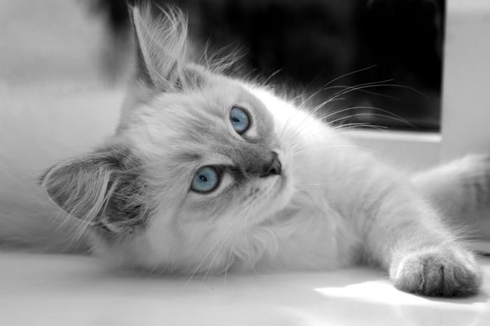 ブルーの目をしたラグドールのモノクロ写真