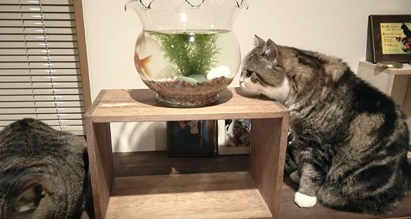 金魚鉢に顔が付きそうな猫