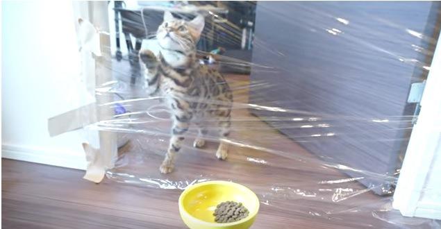 ラップに驚く猫