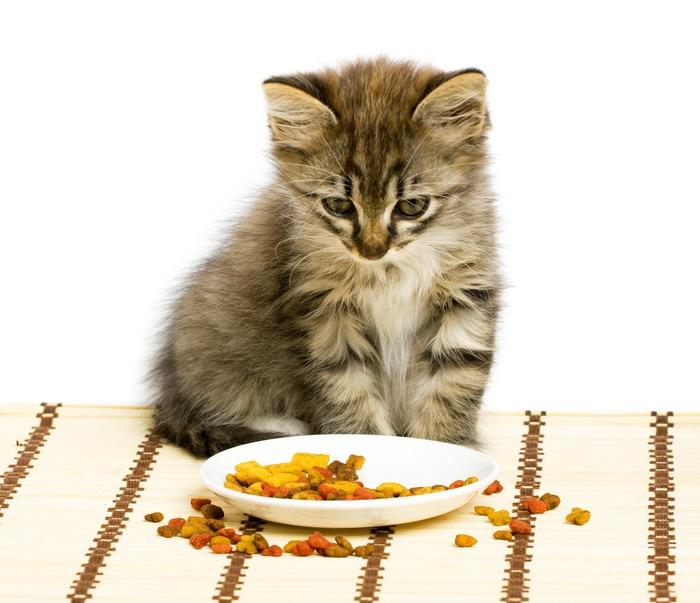 フードを見つめる子猫