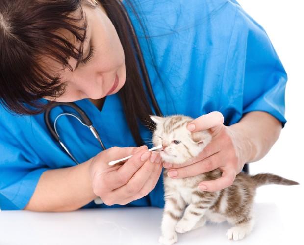 子猫の鼻を綿棒で掃除する獣医師
