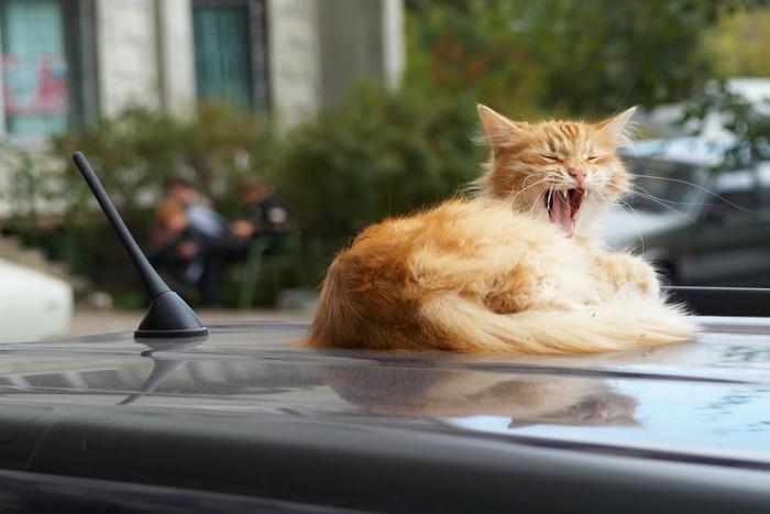 ボンネットの上であくびをしている猫