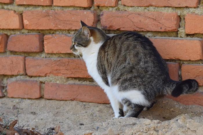 壁の前でうんちをする猫