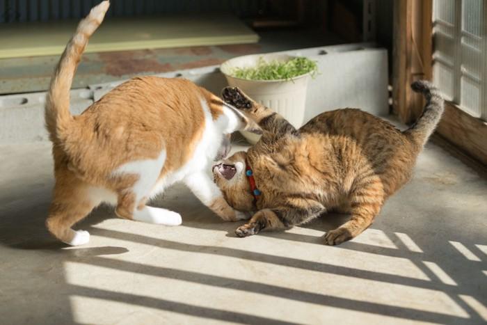 じゃれ合う二匹の猫