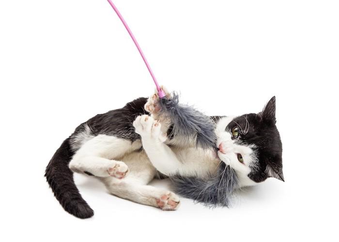猫じゃらしで遊ぶハチワレ猫