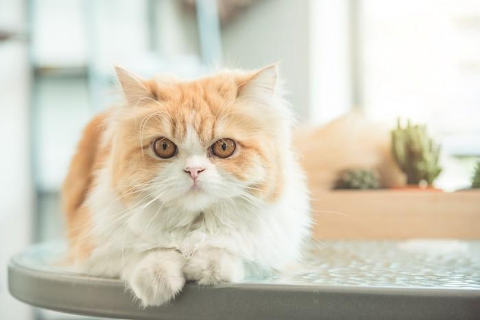 テーブルに乗る猫