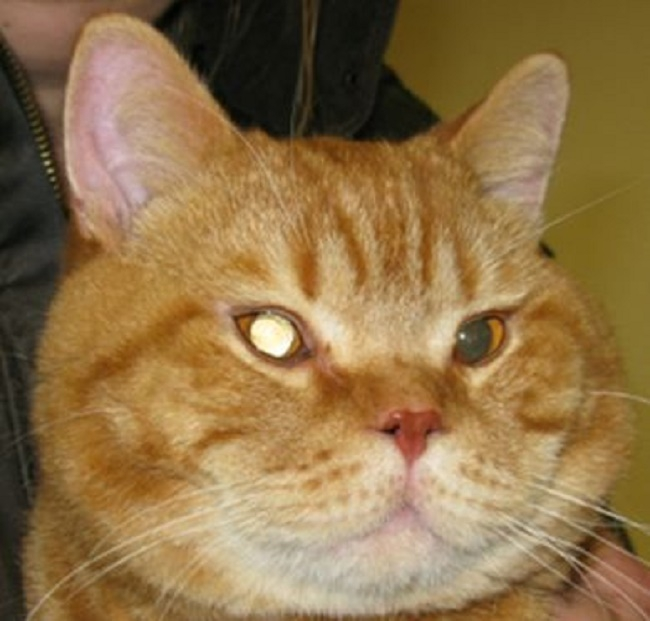 白内障になった茶色い猫