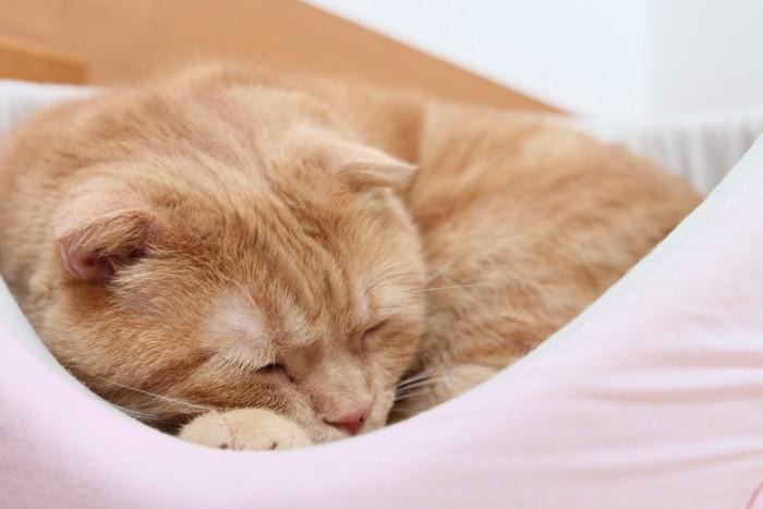 スコティッシュフォールドの寝顔