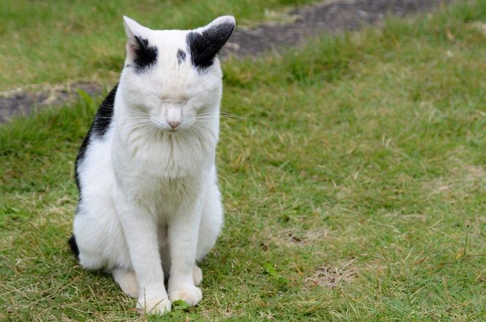 耳を後ろに向けるポーズをする猫