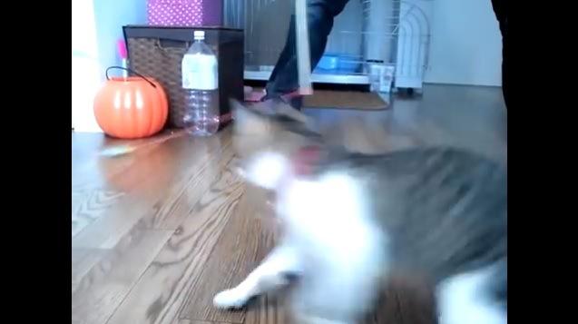 ひもを追いかける猫