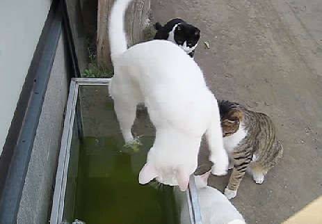 後ろ足を水槽に落とした白猫