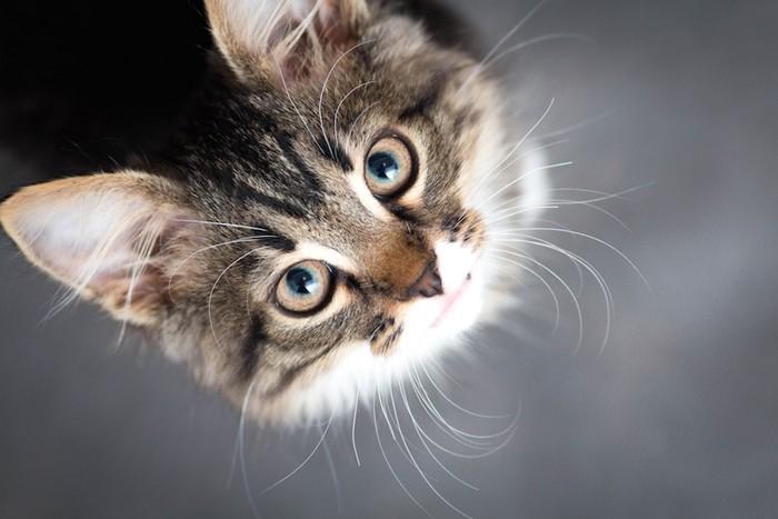 大きな瞳で上を見上げる猫