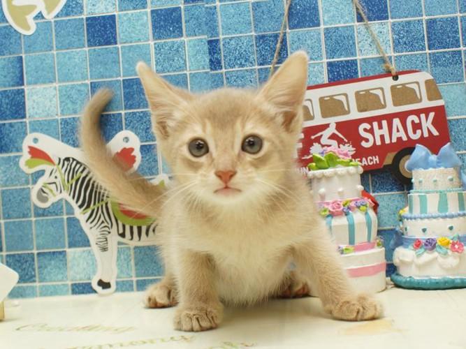子猫のアビシニアンフォーン2