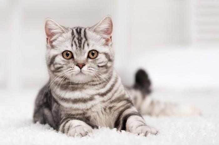 こちらを見つめるアメリカンショートヘアの子猫