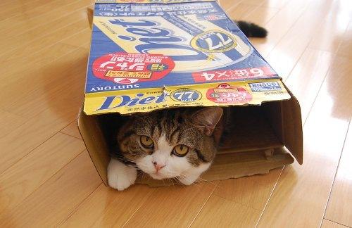 ダンボール箱に滑り込んだ猫まる
