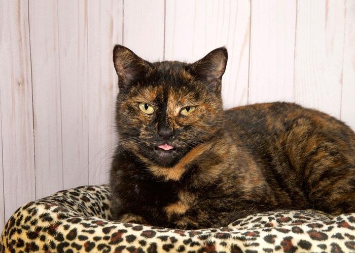 舌を出すサビ柄猫
