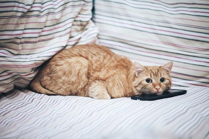 スマホの上にあごをのせる猫