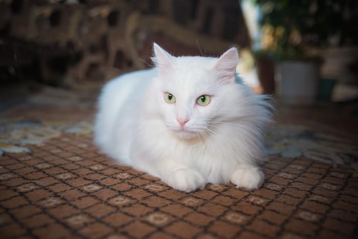 絨毯の上で休む長毛種の猫
