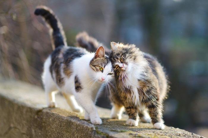 頭をこすり合わせる2匹の猫