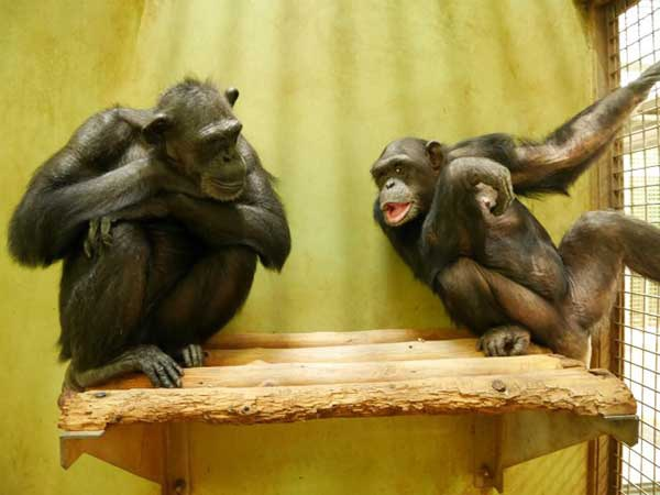 ダウン症のチンパンジー