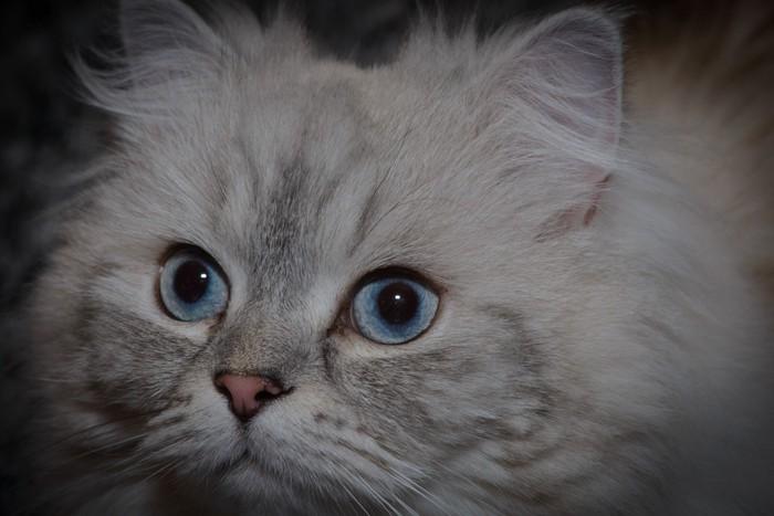 青い目のミヌエット