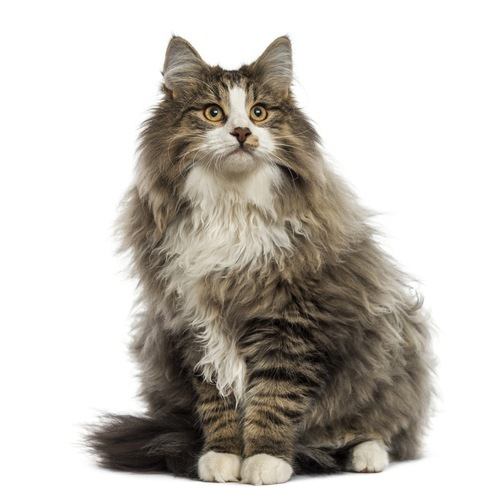 毛足が長い猫