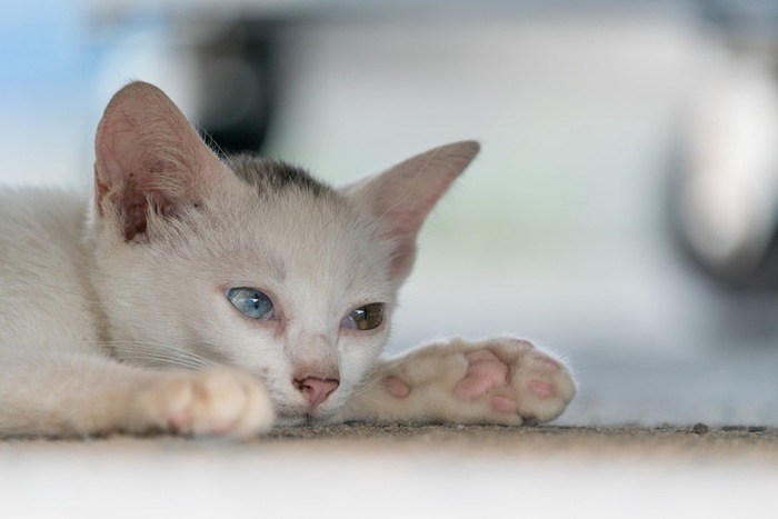 ピンクの肉球の子猫