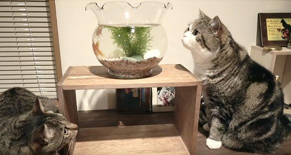 金魚鉢の上を見る猫