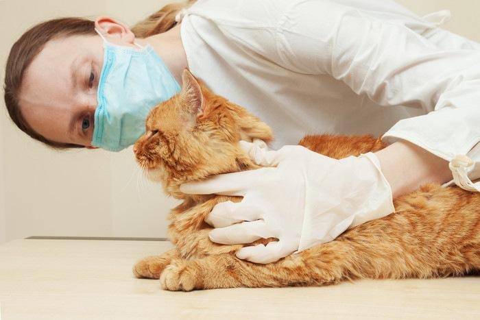 獣医に顔を見られている茶色の猫