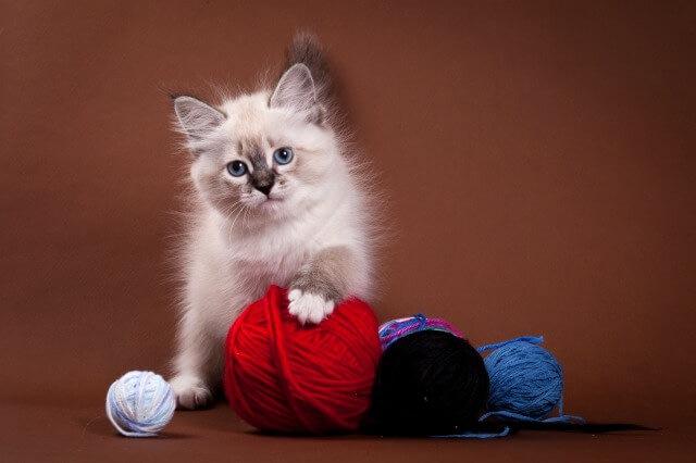 毛糸と戯れるサイベリアン
