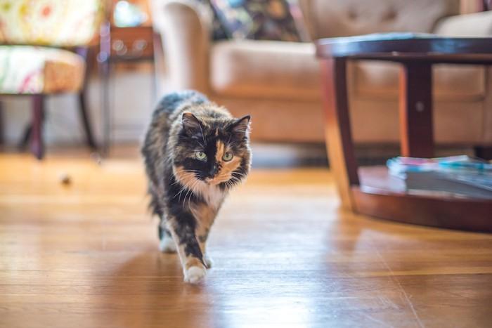 リビングを歩く猫