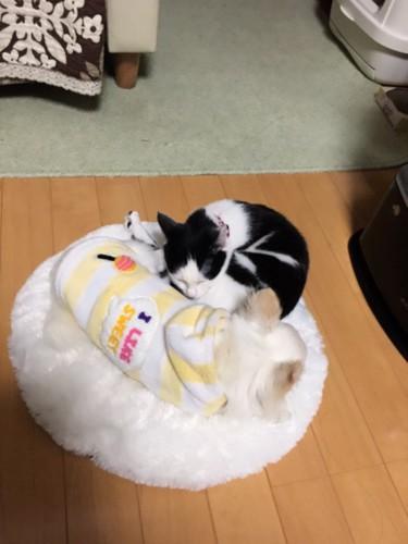 犬と寝転んで寝る猫